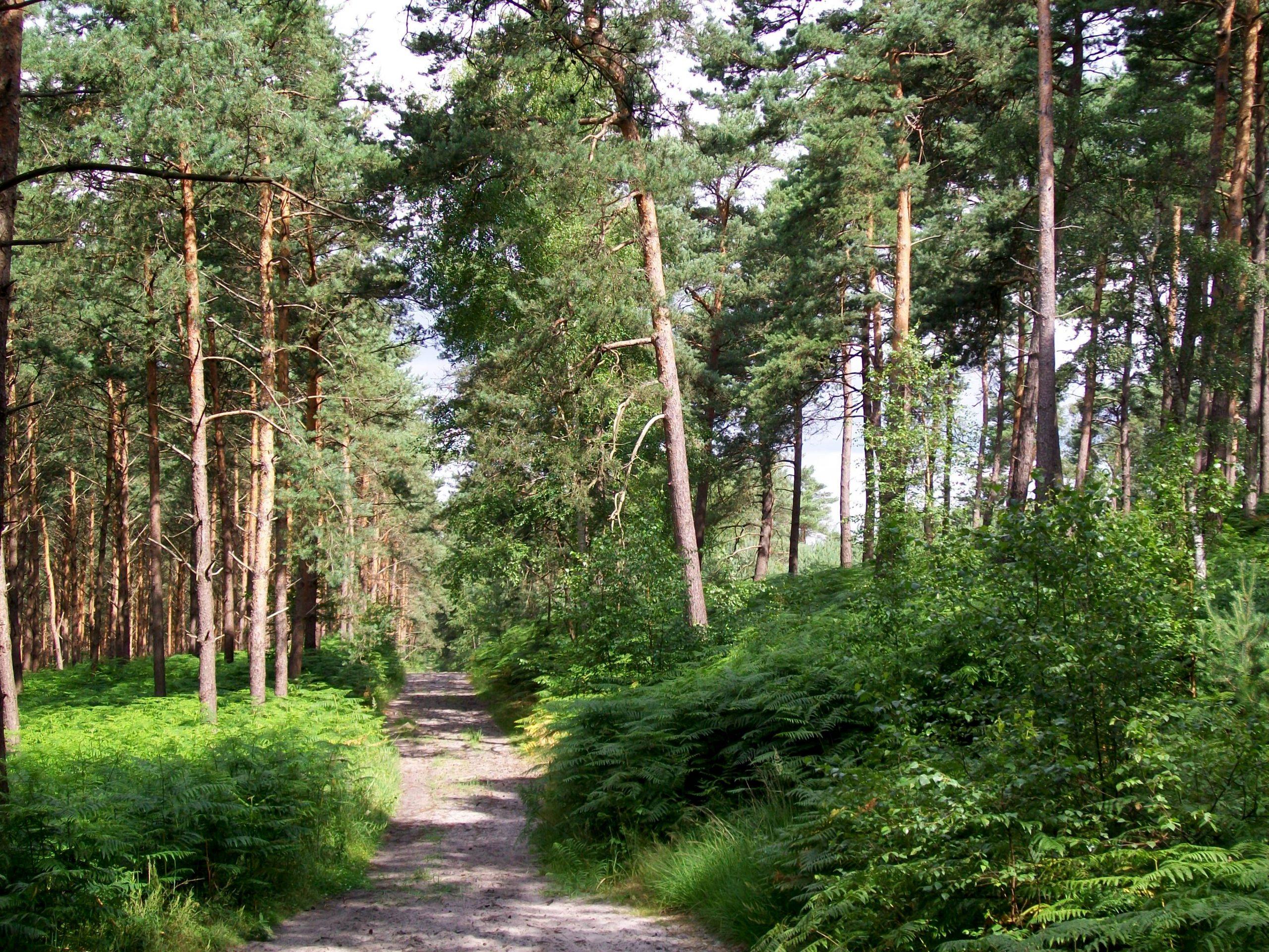 Photo des pins sylvestres dans la forêt d'Ermenonville