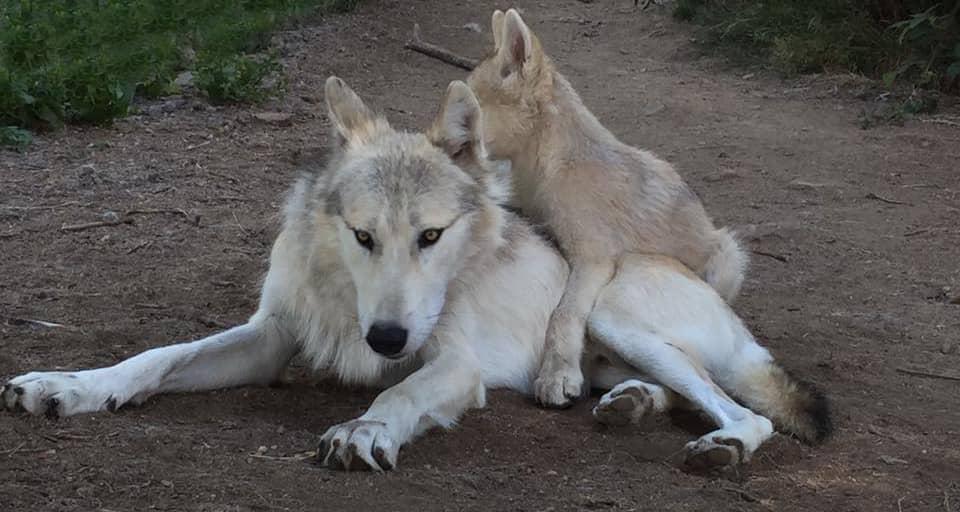 Loups du Guévaudan