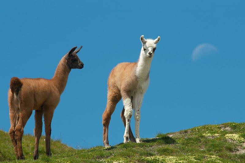 Lamas de La Bresse